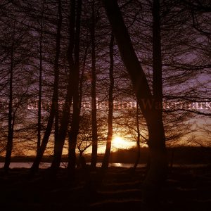 Blessington lakes Co. Wicklow Tree 2 (Image 2) no boarder
