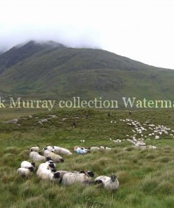Connemara shepherds 2008 no boarder