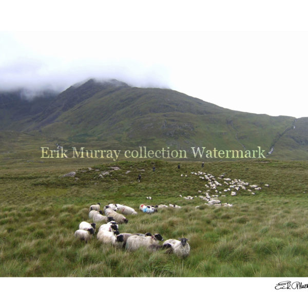 Connemara shepherds 2008 with boarder & signature