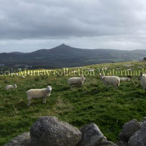 Wicklow Sheep (Image 2)