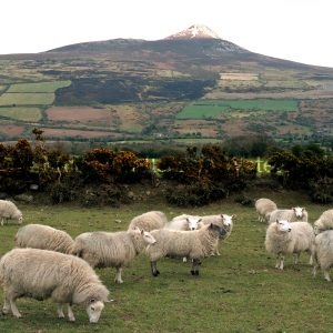 Wicklow Sheep with Sugarloaf no boarder
