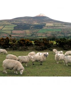 Wicklow Sheep with Sugarloaf with boarder and signature