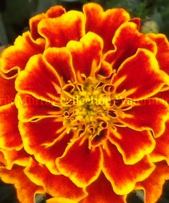 marigold flower no boarder
